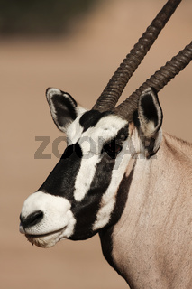 Gemsbok - Portrait - Kalahari-South Africa