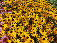 Sonnenhut; Sun hat; Rudbeckia hirta; Heilpflanze