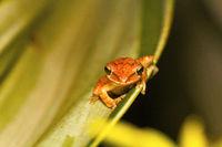 Tree frog, Polypedates sp., Barnawapara WLS, Chhattisgarh