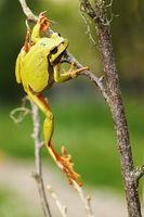 european green tree frog climbing on twigs ( Hyla arborea )