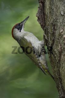 im Wald... Grünspecht *Picus viridis* klettert an einem Baumstamm hoch, sitzt am Baum