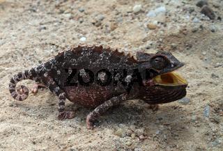 Hunting Chameleon, Namibia