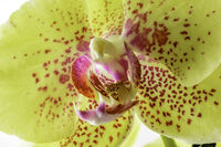 Yellow exotic orchid detail