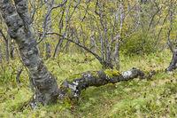 Island, Birkenwald in der Asbyrgi-Schlucht