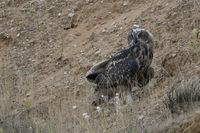 aufmerksam beobachtend... Europäischer Uhu *Bubo bubo* sitzt im Abhang einer Sandgrube