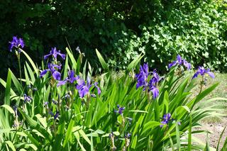 Iris laevigata, Asiatische Sumpf-Schwertlilie, Japanese Iris