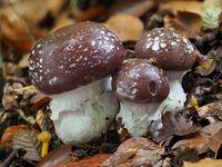 Pilz: Schleiereule, Cortinarius praestans
