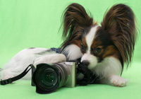 Beautiful young continental spaniel papillon with a camera on green background