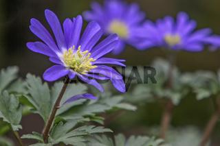 Strahlenanemone, Frühlingsanemone (Anemone blanda)