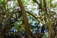 Typical vegetation of the tropical mangrove