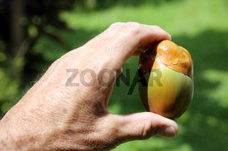 kleine Kokosnuss in frühem Entwicklungsstadium in der Hand