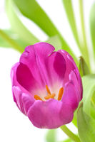 violet tulip
