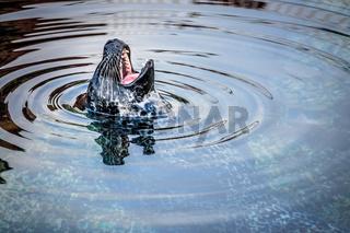 Seal shouting in water