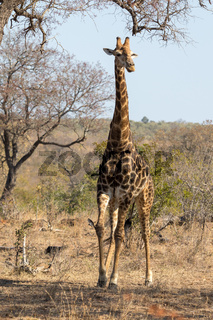 Girafe kruger National Park