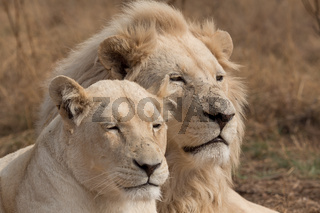Couple of white lions