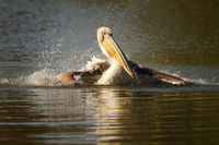 juvenile great white pelican splashing water ( Pelecanus onocrotalus )