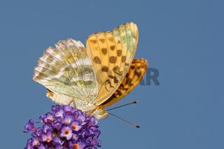 Kaisermantel auf Schmetterlinsflieder