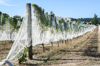 Vines with bird netting