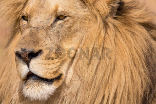 portrait of a beautiful lion Kruger.jpg