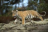 beeindruckend... Königstiger *Panthera tigris tigris*