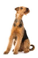 Sitzender Airedale Terrier