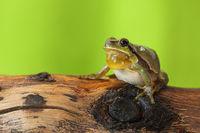male tree frog singing on a wood stump ( Hyla arborea )