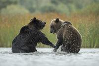 im kühlen Nass... Europäischer Braunbär *Ursus arctos* Jungbären spielen vergnügt im flachen Wasser