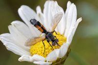 Cylindromyia brassicaria