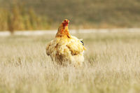 large domestic hen in the field near the farm