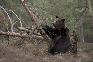 probier's mal mit Gemütlichkeit... Europäischer Braunbär *Ursus arctos*