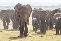 Herd of wild elephants in Amboseli National Park, Kenya.