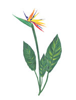 bird of paradise flower watercolor