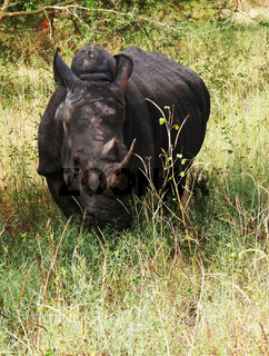 Portrait of rhinoceros, Bandia reserve, Senegal