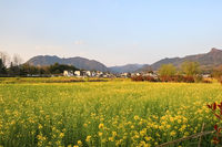 rapeseed flowers and anhui traditional village