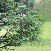 the small fir tree grows in the city on a background of green grass in summer in the city