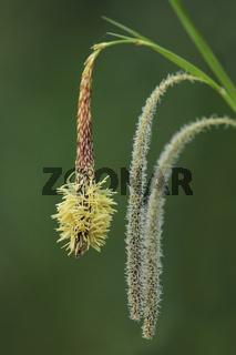 Haenge-Segge (Carex pendula)