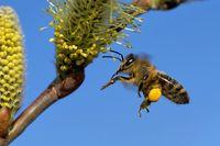 Weidenkaetzchen mit Biene