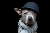 beautiful thai ridgeback dog in cap and scarf