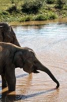 Elephants on watering place
