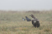 Trio... Seeadler *Haliaeetus albicilla*