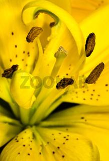 Bluetenkelch einer gelben Lilie
