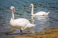 Couple of white swans on the shore of a lake