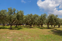 Green olives on an olive tree ripening under the sun on Sithonia Peninsula