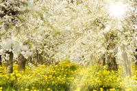 Apfelbäume in einer Plantage mit Blüten