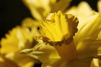 Nahaufnahme einer gelben Narzisse