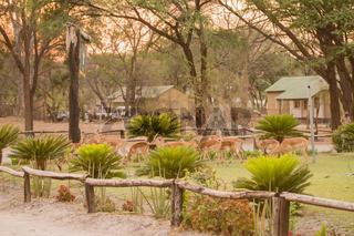 Kudus in einem Dorf in Simbabwe Südafrika