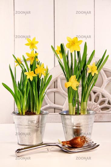 Yellow daffodils in pots