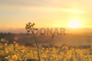 Sunrise Golden Canola