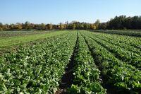 Lactuca sativa var. longifolia, Roemersalat, romaine lettuce