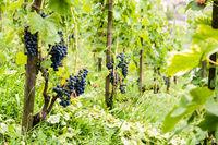 Rote Weintrauben am Weinstock im Sommer